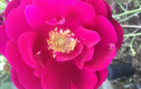 Pink rose grown in garden